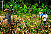 Editorial: 23, June, 2018 Bali, Indonesia. A small group of Rice Farmers are harvesting their crop and gathering rice. Lush Green Plants