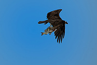 Osprey in flight with a fish. Fort De Soto Park in Pinellas County, Florida. Image taken with a Nikon D700 camera and 300 mm f/2.8 telephoto lens with a TC-E 20 teleconverter (ISO 200, 600 mm, f/8, 1/1250 sec).
