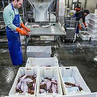 Nederland, Den Helder, 18 maart 2016.<br /> Visafslag bij Den Helder.<br /> De verse vis wordt geselecteerd en schoongemaakt voordat het verhandeld wordt.<br /> <br /> The Netherlands, Den Helder, 18 march 2016<br /> Fish processing for auction in Den Helder. The fresh fish is selected and cleaned before it is marketed.<br /> <br /> <br /> Foto: Jean-Pierre Jans