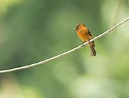Cinnamon Flycatcher, Pyrrhomyias cinnamomeus