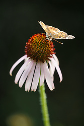American Lady Butterfly on purple coneflowers on Piedmont Ridge, Great Trinity Forest, Dallas, Texas, USA