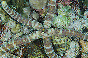 Warty Sea Star (Echinaster callosus)<br /> Cenderawasih Bay<br /> West Papua<br /> Indonesia