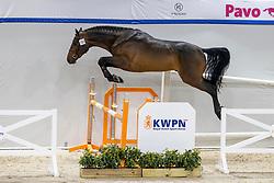 151, Son's Pleasure Van Papinglo<br /> KWPN Hengstenkeuring 2021<br /> © Hippo Foto - Dirk Caremans<br />  02/02/2021