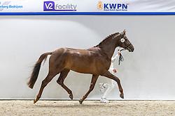 507, Newton TC<br /> KWPN Hengstenkeuring 2021<br /> © Hippo Foto - Dirk Caremans<br />  04/02/2021