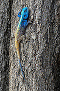 Black-necked agama (Acanthocercus atricollis), adult male, from Kruger NP, South Africa.