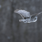 Great Gray Owl (Strix nebulosa) adult hunting in the forest. Canada