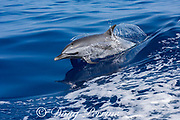 pantropical spotted dolphin, Stenella attenuata, porpoises out of a boat wake, South Kona, Hawaii ( the Big Island ), United States ( Central Pacific Ocean )