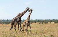 Masai Giraffes, Giraffa camelopardalis tippelskirchii, in Serengeti National Park, Tanzania