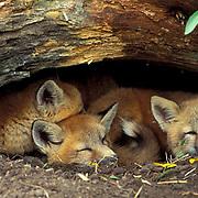 Red Fox, (Vulpus fulva) Young kits at at entrance to den. Spring. Captive Animal.