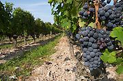 Bunches of ripe grapes. Cabernet franc. Domaine Charles Joguet, Clos de la Dioterie, Chinon, Loire, France