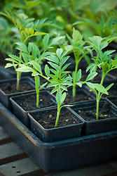 Young seedlings of African Marigold 'Kilimanjaro' growing in plastic pots on a greenhouse bench. Tagetes erecta