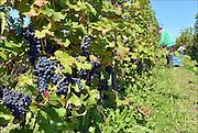Nederland, Groesbeek, 30-9-2015 Bij de biologische wijngaard de Colonjes is men bezig met de druivenoogst van dit seizoen. Beschimmelde en aangetaste vruchten worden zoveel mogelijk weggeknipt. Kwaliteit gaat hier boven kwantiteit. Groesbeek afficheert zichzelf als het wijndorp van Nederland omdat er de kaarlijkse wijnfeesten zijn en verschillende boeren druiven verbouwen. De oogst lijkt goed en ook de gevreesde suzuki vlieg lijkt niet toegeslagen te hebben.Foto: Flip Franssen/HH