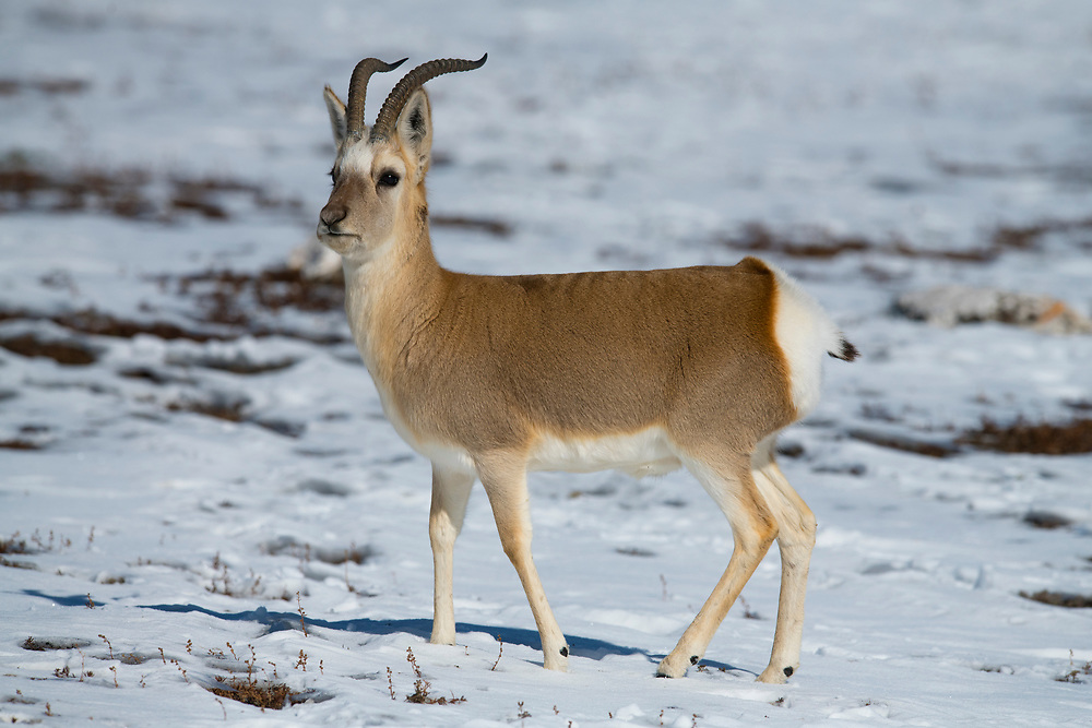 Tibetan gazelle or Goa, Procapra picticaudata, Keke Xili or Hoh Xil naturte reserve, Tibetan Plateau, Qinghai, China
