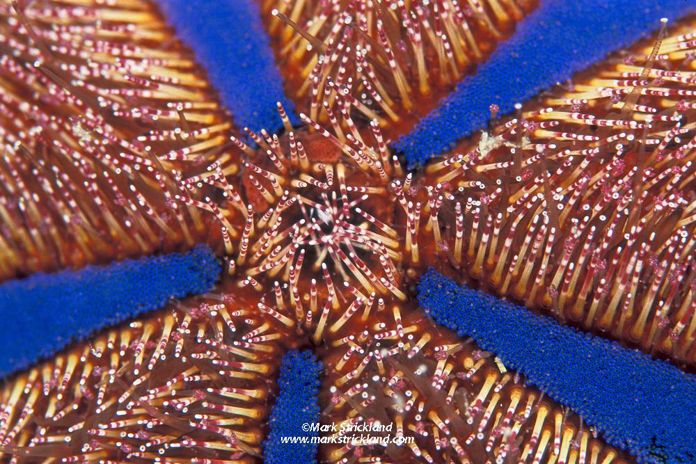 Detail of Jewel Box Urchin, Mespilia globulus, Mergui Archipelago, Myanmar, Andaman Sea, Indian Ocean