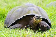 Giant wild domed tortoises on Santa Cruz Island, home to giant tortoises and the Charles Darwin Research Center, Galapagos National Park, Galapagos, Ecuador