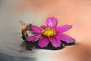 A honey bee (apis mellifera) finds refuge on a floating cosmo flower after landing in the water.