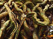 Tree roots on floor of tropical rain forest at Alang Sedayu north of Kuala Lumpur, Malaysia.