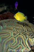 juvenile blue tang, Acanthurus coeruleus, changes color <br /> as it matures, and grooved brain coral, Diploria clivosa<br /> Bahamas (Atlantic)