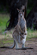 Eastern Grey Kangaroo with Joey in its pouch, at Tom Groggins, Mount Kosciuszko National Park
