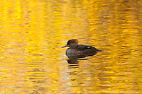 A female hooded merganser swims apart from the group in a pond in Medina Washington.