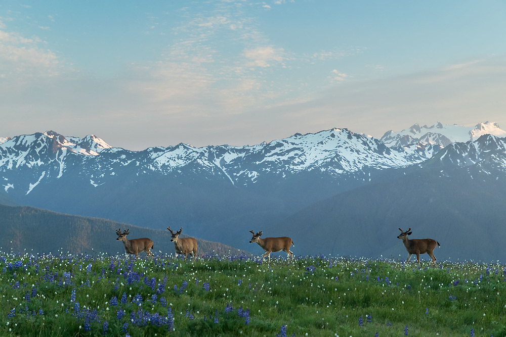 Wildflowers, Mule Deer and Olympic Mountains, Hurricane Ridge, Olympic National Park, Washington