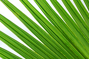 Close-up abstract of a large green palm leaf showing its bold lines and fan-like structure growing in the gardens of a hotel in Kyrenia North Cyprus