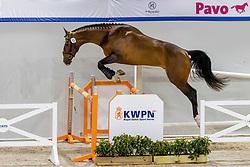 013, Niancard EB<br /> KWPN Hengstenkeuring 2021<br /> © Hippo Foto - Dirk Caremans<br />  03/02/2021