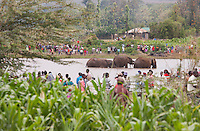 A small bachelor group of elephants trapped in a dam after crop raiding in a local community in central Kenya.