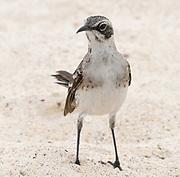 A San Cristóbal or Chatham mockingbird (Mimus melanotis) on the sandy Ochoa beach is San Cristobal. This species is endemic to San Cristóbal. Playa Ochoa, San Cristóbal, Galapagos, Ecuador.