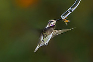 Immature male Costa's Hummingbird (Calypte costae) shares a feeder with a honeybee (Apis mellifera). Tucson