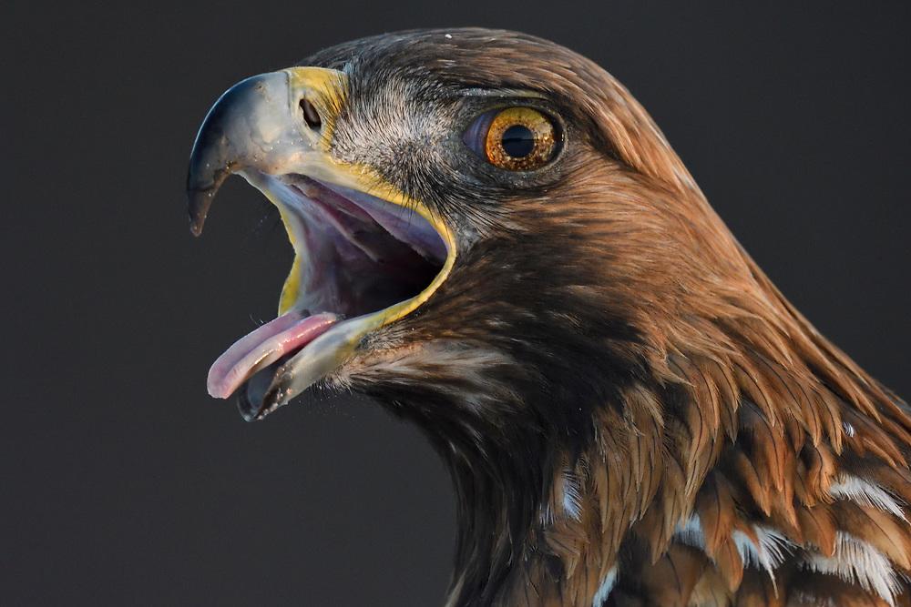 Portrait of a Golden Eagle bird, Aquila chrysaetos, adult male, calling, Kalvtrask, Vasterbotten, Sweden