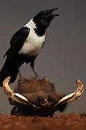 Pied Crow, (Corvus albus) on a Warthog skull, Zimanga Private Nature Reserve, KwaZulu Natal, South Africa