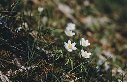 THEMENBILD - Buschwindröschen auf einer Wiese, aufgenommen am 03. April 2020 in Kaprun, Oesterreich // Wood anemone in a meadow, in Kaprun, Austria on 2020/04/03. EXPA Pictures © 2020, PhotoCredit: EXPA/Stefanie Oberhauser