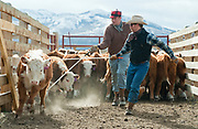 PRICE CHAMBERS / NEWS&GUIDE<br /> Cody Lockhart and Thomas Watsabaugh seperate calves for an inspection on Tuesday at the Lockhart Cattle Company.