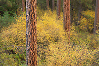 Ponderosa Pine (Pinus ponderosa) and Vine Maples (Acer circinatum) Deschutes National Forest Oregon