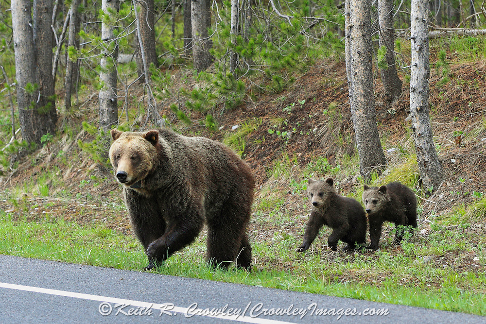 Sow Grizzly with Cubs Crossing Road in Wyoming