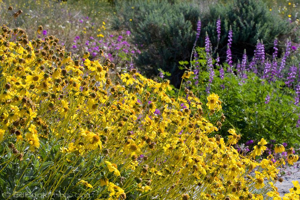 Brittlebush (Encilia farinosa) and lupine in the Anza-Borrego Desert, California