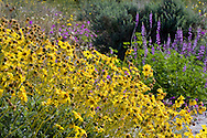 Brittlebush (Encilia farinosa) and lupine in the Anza-Borrego Desert, California