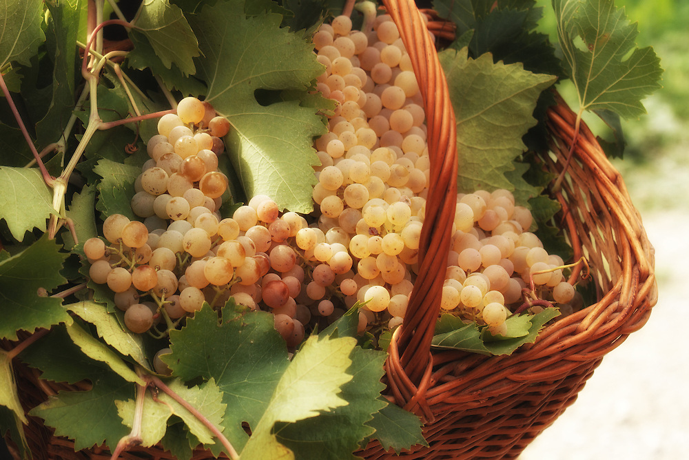 """Fresh harvested white grapes in a basket.<br /> <br /> Available sizes:<br /> 12"""" x 18"""" print <br /> 12"""" x 18"""" gallery wrap<br /> See Pricing page for more information."""