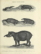 Sorex [shrews], Talpa [genus of mole] and Tapir Copperplate engraving From the Encyclopaedia Londinensis or, Universal dictionary of arts, sciences, and literature; Volume XXIII;  Edited by Wilkes, John. Published in London in 1828
