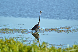 Great Blue Heron at Emiquon National Wildlife Refuge in Fulton County Illinois