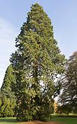 Wellingtonia tree, sequioadendron giganteum, National arboretum, Westonbirt arboretum, Gloucestershire, England, UK