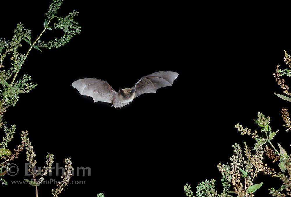 Western long-eared bat (Myotis evotis) flying at night over The Nature Conservancy's Zumwalt Prairie Preserve in Eastern Oregon.