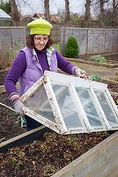 Putting a glass cloche over strawberries in a raised bed for an early crop. Fragaria
