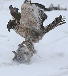 Dec. 22, 2016 - Jilin, China - During a local tourism festival, a trained goshawk catches its prey in Jilin City of northeast China's Jilin Province. Hunting with birds is a traditional form of falconry among local ethnic groups.  (Credit Image: © Cai Yang/Xinhua via ZUMA Wire)