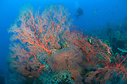 Colourful sea fan (Melithaea sp.) with diver, Restorf Island, Kimbe bay