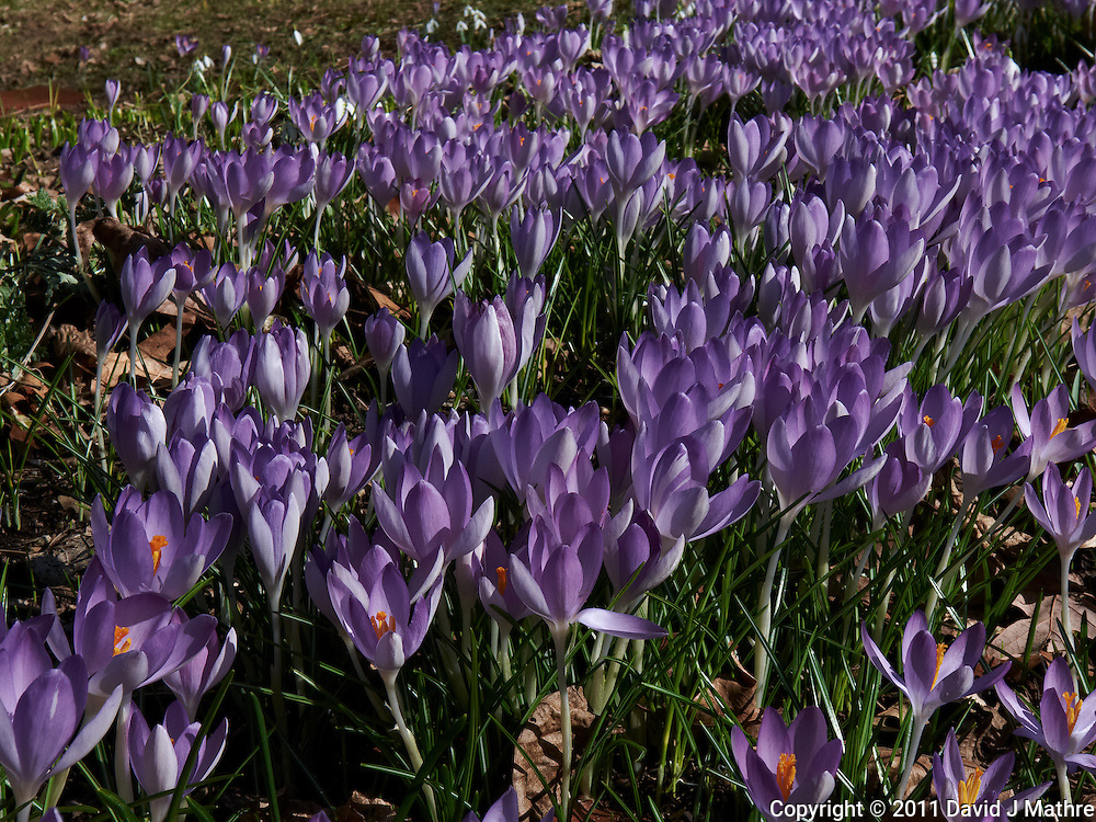 Field of Purple Crocuses  -- Spring is Coming. Image taken with a Leica D-Lux 5 (ISO 100, 14.9 mm, f/8, 1/320 sec).
