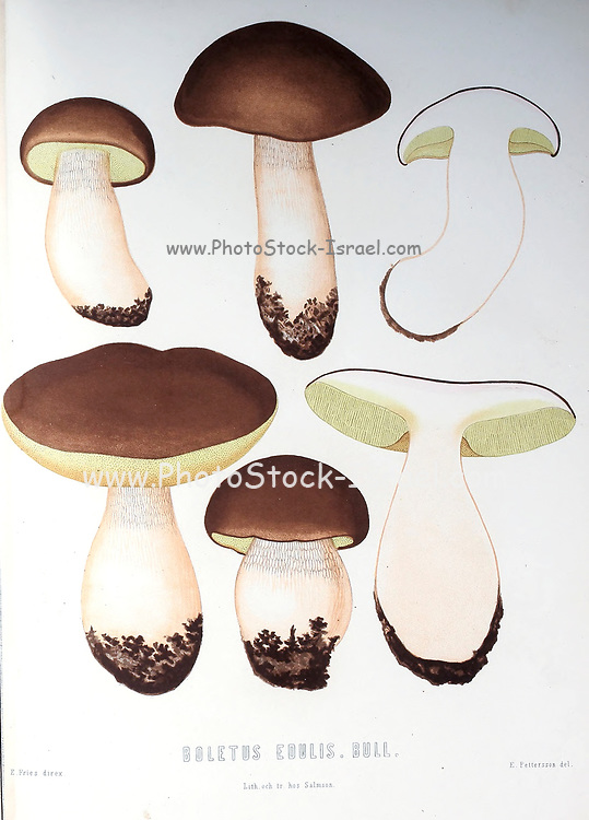 Boletus edulis (English: cep, penny bun, porcino or porcini) is a basidiomycete fungus, and the type species of the genus Boletus. Widely distributed in the Northern Hemisphere. from the book Sveriges ätliga och giftiga svampar tecknade efter naturen under ledning [Sweden's edible and poisonous mushrooms drawn after nature under guidance] By Fries, Elias, 1794-1878; Kungl. Svenska vetenskapsakademien Published in Stockholm, Sweden in 1861