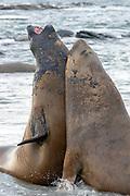 Fighting elephant seals (Mirounga leonina) from Sea Lion Island, the Falkland Islands.