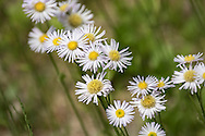 """This short variety of Fleabane grow in tight, dense colonies, a charming sight to behold.  The flowers grow on slender stems and with leaves being hardly noticeable, the flowers seem to to almost be floating in air.For IMAGE LICENSING just click on the """"add to cart"""" button above.<br /> <br /> Fine Art archival paper prints for this image as well as canvas, metal and acrylic prints available here:"""